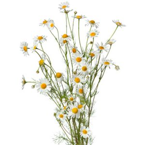 Bouquet of chamomile flowers